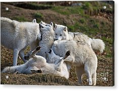 Acrylic Print featuring the photograph Playful Pack by Wolves Only
