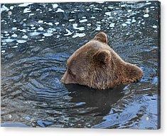 Playful Submerged Bear Acrylic Print