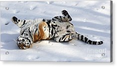 Playful Tiger Acrylic Print