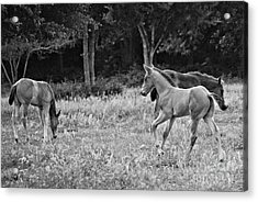 Playing Foals Acrylic Print by Melissa Ahlers
