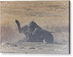 American Bison Playing In The Dirt At Custer State Park South Dakota Acrylic Print