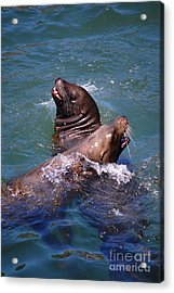 Acrylic Print featuring the photograph Playing Pair Of Sea Lions by Debra Thompson