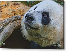 Pleading Panda Acrylic Print