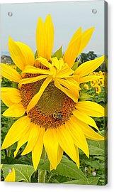 Pleading Sunflower Acrylic Print