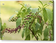 Acrylic Print featuring the photograph Pleasing To The Eye - Pokeweed Vine Art Print by Jane Eleanor Nicholas