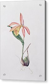 Pleione Zeus Wildstein Acrylic Print by Mary Kenyon-Slaney