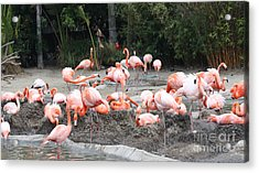 Plenty Of Pink Acrylic Print by John Telfer