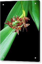 Pleurothallis Secunda Acrylic Print by Geoff Kidd/science Photo Library