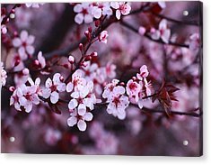 Acrylic Print featuring the photograph Plum Blossoms by Lynn Hopwood