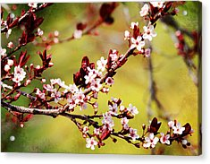 Acrylic Print featuring the photograph Plum Blossoms by Trina  Ansel