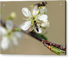 Plum Pollinator  Acrylic Print by Giffin Photography