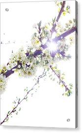 Plum Tree From Heaven Acrylic Print by Alex Wrenn