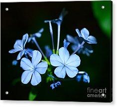 Plumbago Blue Acrylic Print by Cathy Dee Janes