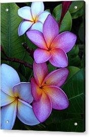 Plumeria Blossoms Acrylic Print