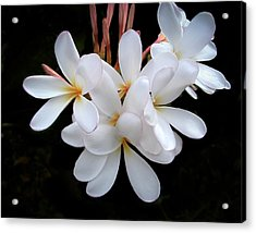 Plumeria Acrylic Print by Penny Lisowski