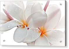 Plumeria Acrylic Print by Roselynne Broussard
