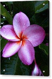 Plumeria With Raindrops Acrylic Print