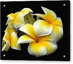 Plumeria Yellow And White Acrylic Print