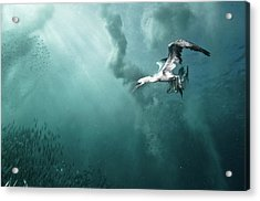 Plunge Diver Acrylic Print