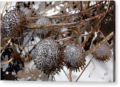 Pods In Ice Acrylic Print by Ellen Tully