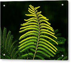 Acrylic Print featuring the photograph Poinciana Leaf by Lorenzo Cassina