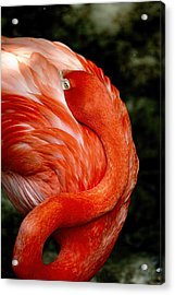 Poised Flamingo Acrylic Print