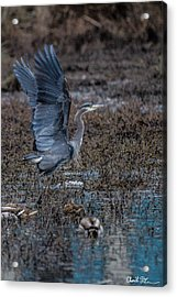 Poised For Flight Acrylic Print by Charlie Duncan