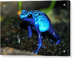 Poison Blue Dart Frog Acrylic Print by Optical Playground By MP Ray