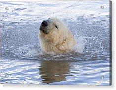 Polar Bear Acrylic Print by Andrew Dernie