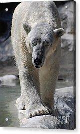 Polar Bear Balance Acrylic Print by DejaVu Designs