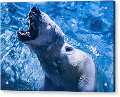 Polar Bear Acrylic Print by Chris Flees