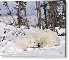 Polar Bear Cub Kisses Mother Acrylic Print