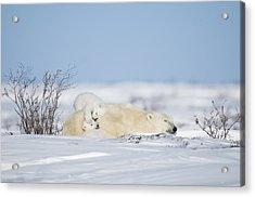 Polar Bear Cubs Play On Mothers Back Acrylic Print