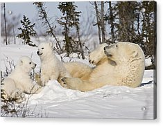 Polar Bear Family Playing In The Snow Acrylic Print
