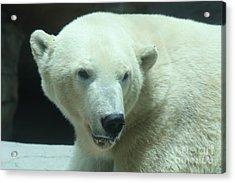 Polar Bear Head Shot Acrylic Print by John Telfer