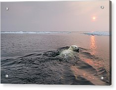 Polar Bear, Hudson Bay, Canada Acrylic Print by Paul Souders