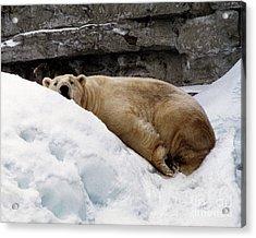 Acrylic Print featuring the photograph Polar Bear Looking by Tom Brickhouse