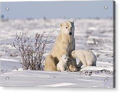 Polar Bear Nurses Cubs Acrylic Print