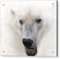 Polar Bear Portrait Acrylic Print by Heiko Koehrer-Wagner