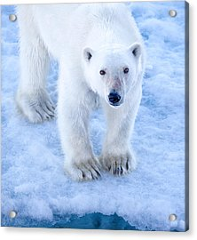Polar Bear Portrait In Svalbard Acrylic Print