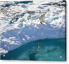 Polar Bear Reflection Acrylic Print