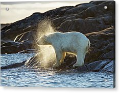 Polar Bear Shaking Water Off Acrylic Print by Peter J. Raymond