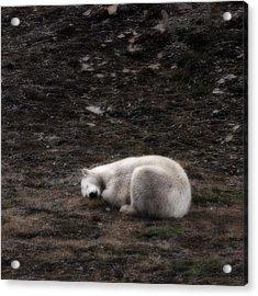 Polar Bear Sleeping, Spitsbergen Acrylic Print by Panoramic Images