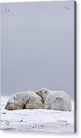 Polar Bear Sow With Cub Resting Acrylic Print