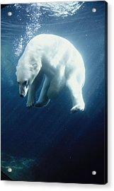 Polar Bear Swimming Underwater Alaska Acrylic Print by Steven Kazlowski