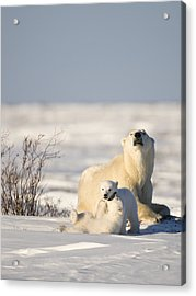Polar Bear Watches Cubs Play Acrylic Print