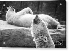 Polar Bears Acrylic Print by Michael Ver Sprill