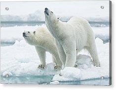 Polar Bears, Mother And Son Acrylic Print by Joan Gil Raga