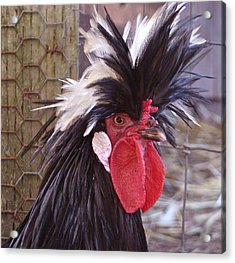 Polish Rooster Acrylic Print by K L Kingston