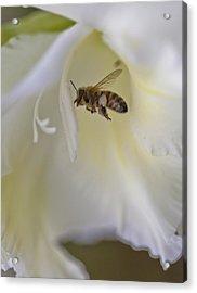 Pollen Carrier Bee Acrylic Print
